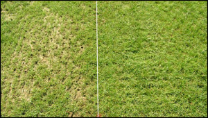 wichita overseed, before and after